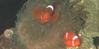 Pairing Clownfish with Anemones