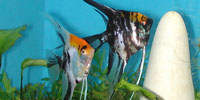 Spawning and Raising Angelfish